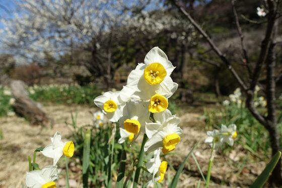 三渓園 水仙