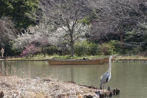 横浜 三渓園 梅