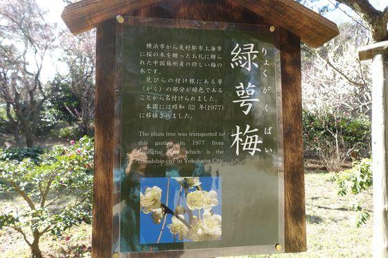 三渓園 緑萼梅