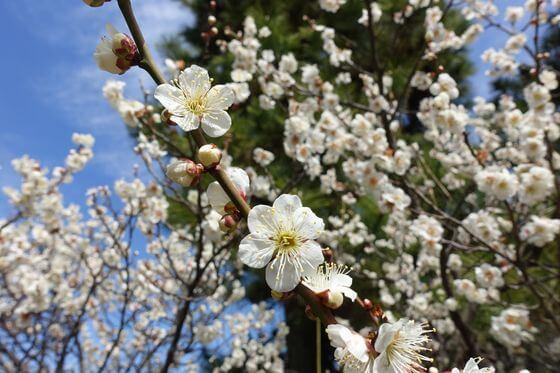 三渓園 梅 開花状況