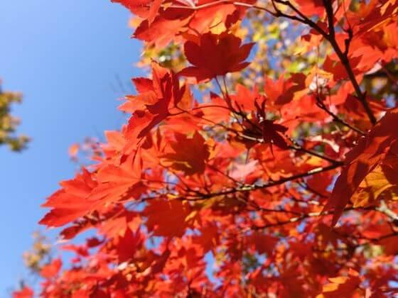 昭和記念公園 紅葉 状況