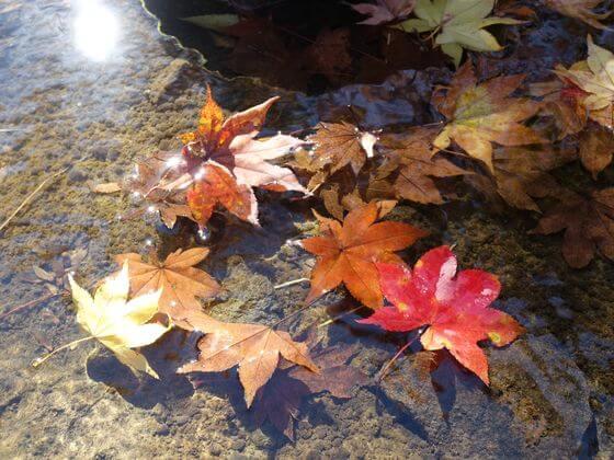 国営昭和記念公園 日本庭園 紅葉