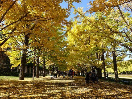昭和記念公園 銀杏並木