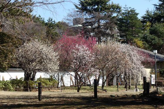 菅刈公園 梅