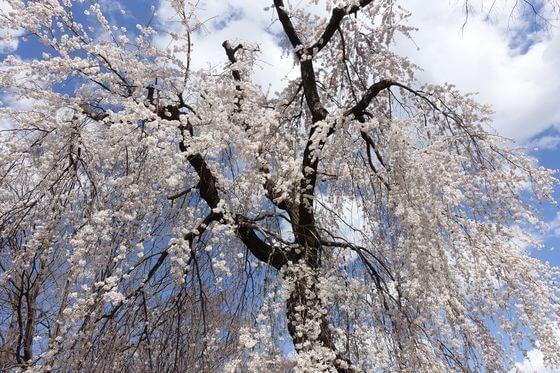 府中 枝垂れ桜