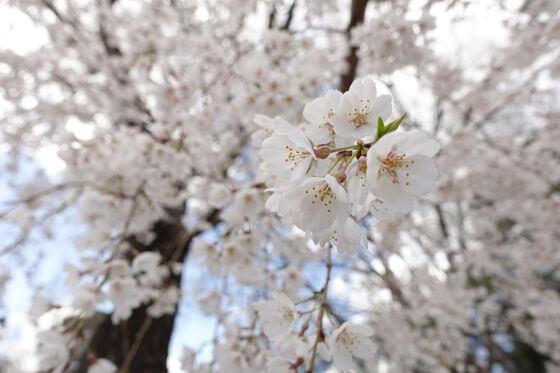 多磨霊園 桜 開花状況