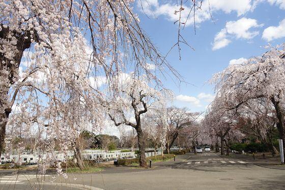 多磨霊園 桜