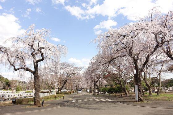 多磨霊園 しだれ桜