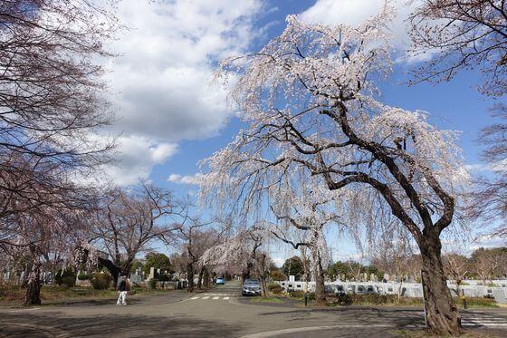 多磨霊園 桜 見頃