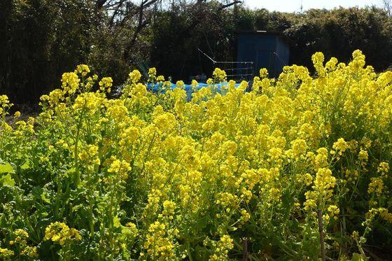 田浦梅の里 菜の花