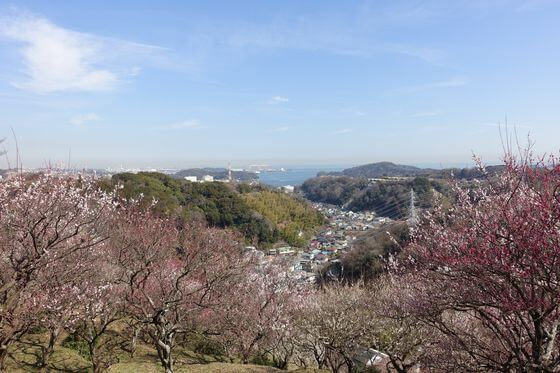 横須賀市 梅