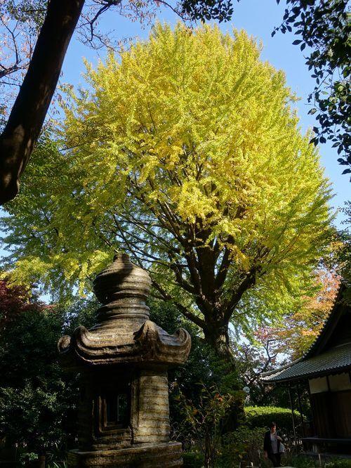 東京国立博物館 銀杏