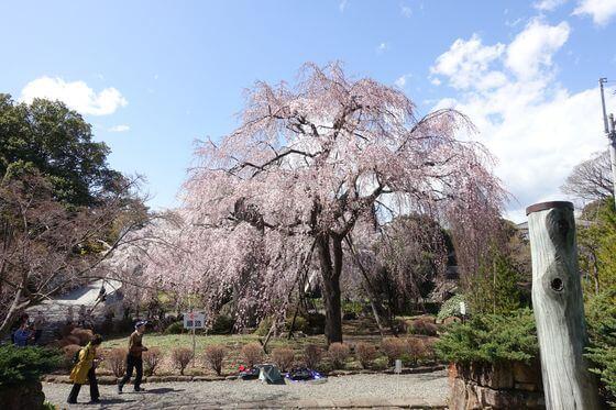 東郷寺 しだれ桜
