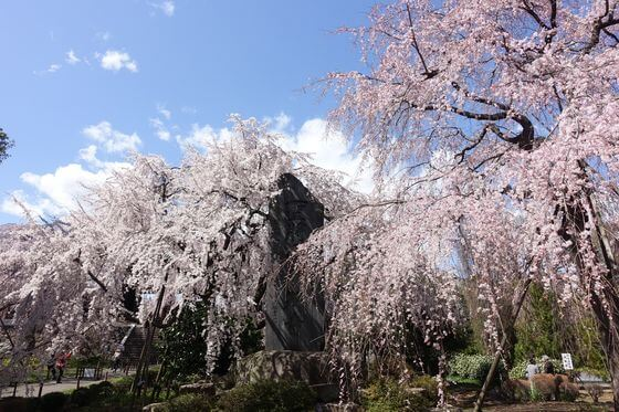 東郷寺 枝垂れ桜