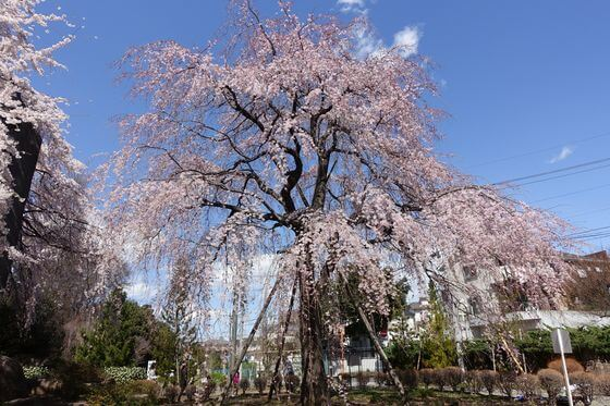 府中 しだれ桜