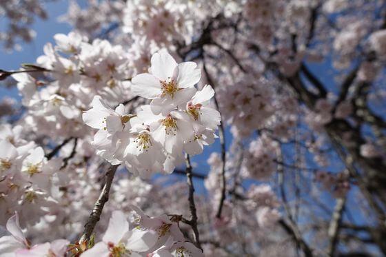 東京 しだれ桜 名所
