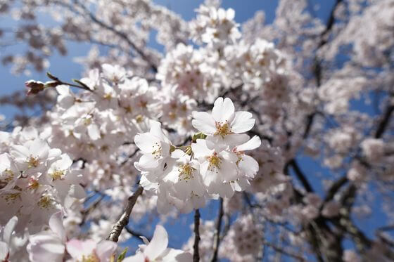 東郷寺 桜 開花状況