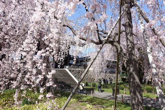 東京 しだれ桜 穴場