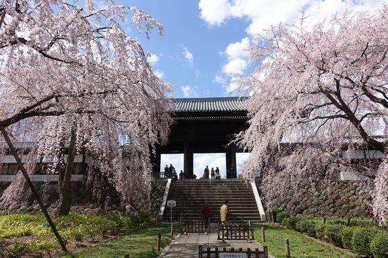 東郷寺 桜