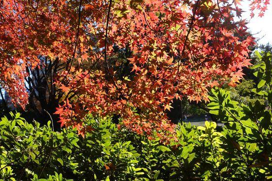 戸山公園 紅葉 状況