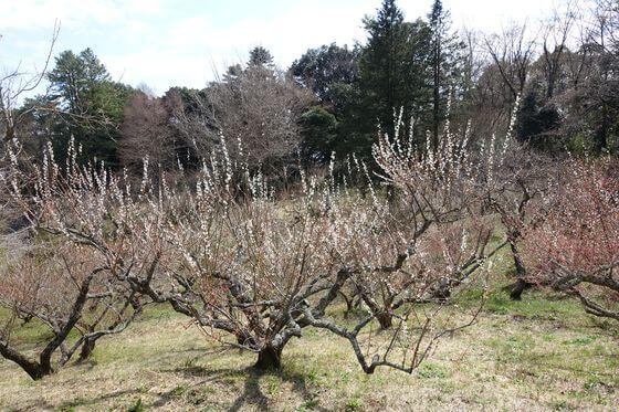 神奈川 辻村植物園 梅