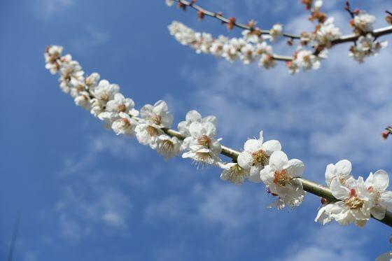 辻村植物園 梅 開花状況