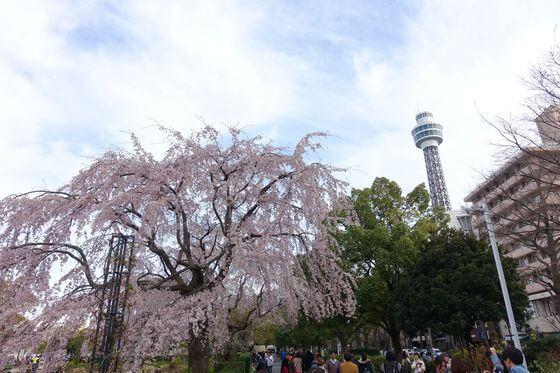 横浜マリンタワー 桜