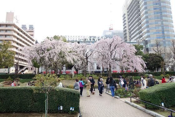 横浜 しだれ桜