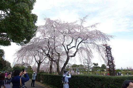 横浜 枝垂れ桜