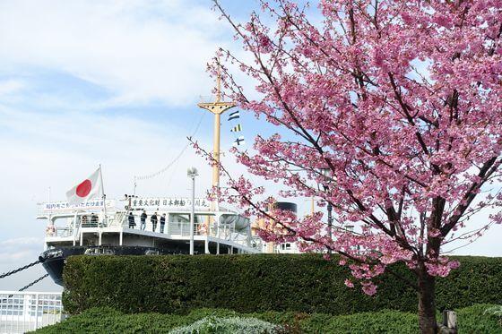 山下公園 河津桜