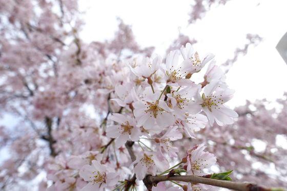 山下公園 桜 開花状況