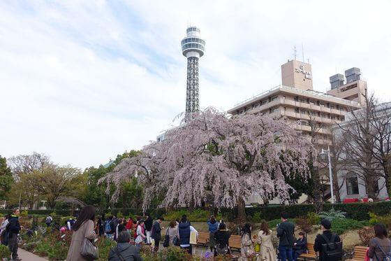 山下公園 しだれ桜