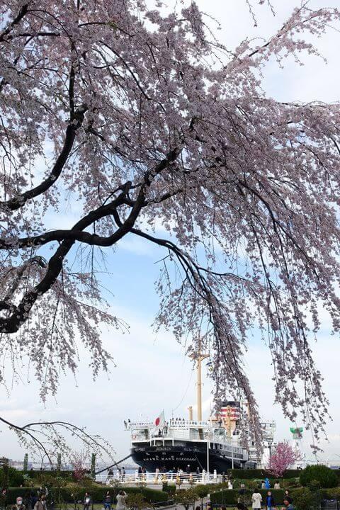 日本郵船氷川丸 桜