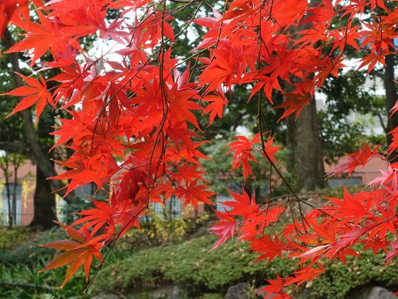 横浜公園 紅葉 状況