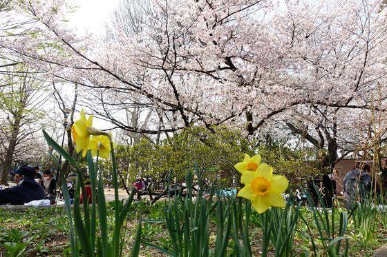 新井薬師公園 桜 開花状況