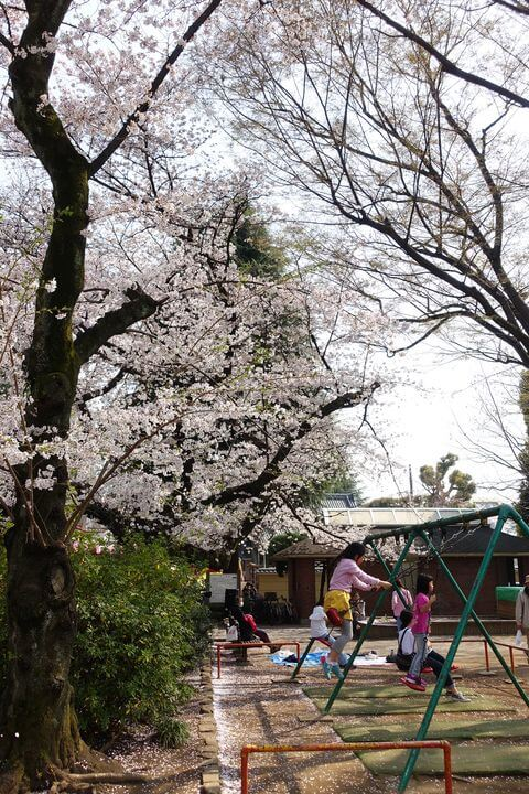 中野通り 花見