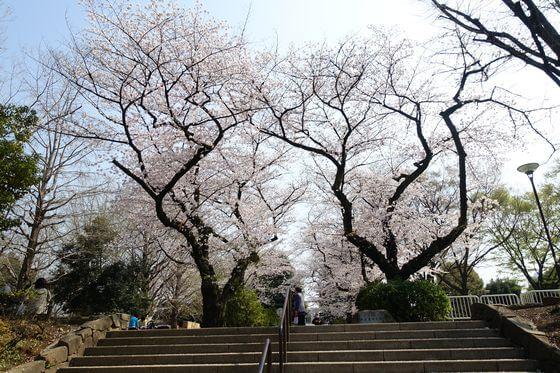 新井薬師公園 お花見
