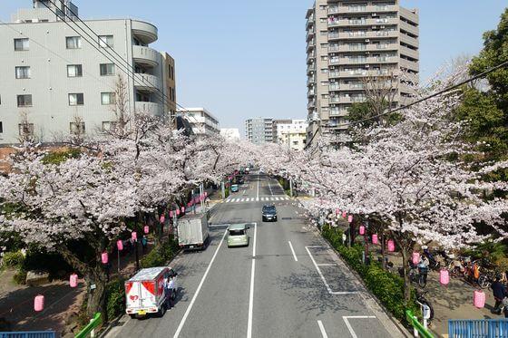 新井薬師公園 桜