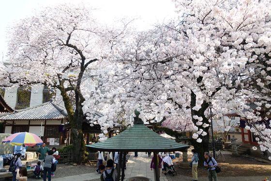新井薬師 中野 桜