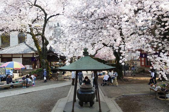 新井薬師梅照院 桜