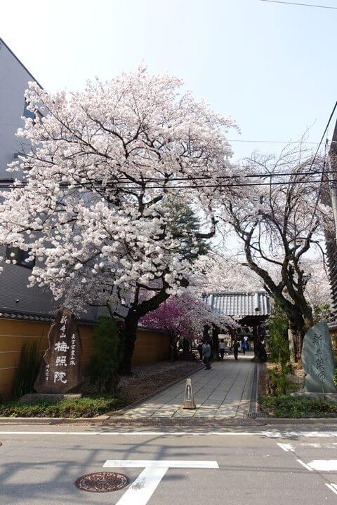 梅照院 桜