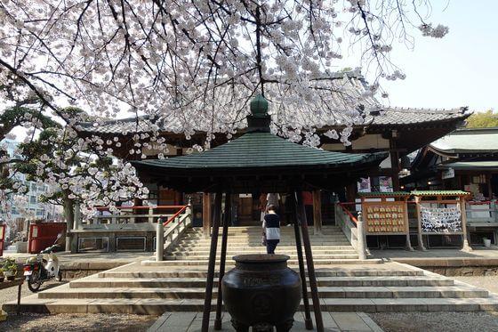 新井薬師 桜