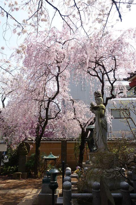 新井薬師梅照院 枝垂れ桜