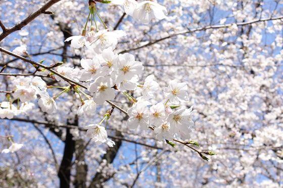 飛鳥山公園 桜 開花状況