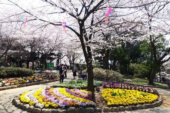 飛鳥山公園 桜 見頃