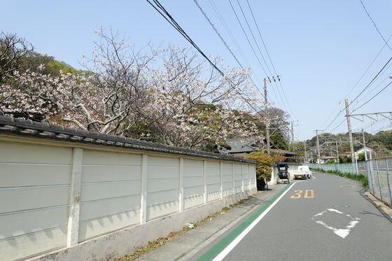 鎌倉 英勝寺 桜