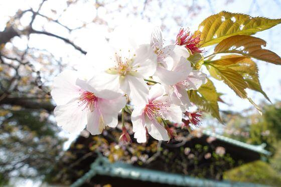 英勝寺 桜