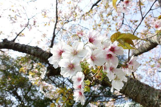英勝寺 鎌倉 桜