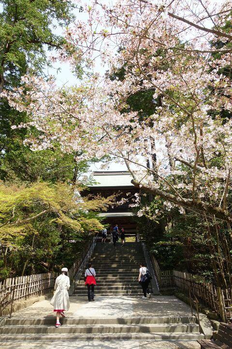 円覚寺 鎌倉 桜