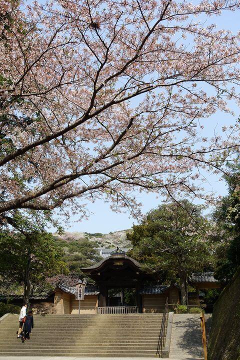 円覚寺 唐門 桜